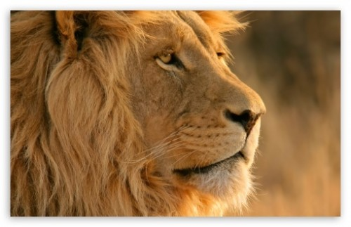 Lion OS Wallpaper